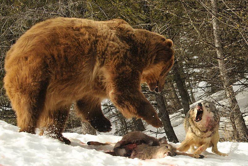 高清组图:十大最触目惊心的动物搏杀场面【8】